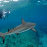 Bimini Scuba Shark Project