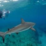 Bimini Scuba Shark Project